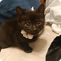 Adopt A Pet :: Luna Kitten (courtesy julia) - Homestead, FL