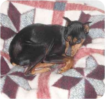 Miniature Pinscher Mix Dog for adoption in Wilmington, Massachusetts - Harmony
