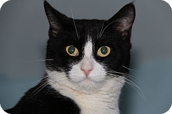 Domestic Shorthair Cat for adoption in Forked River, New Jersey - Santino