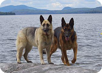 German Shepherd Dog Dog for adoption in North Chittenden, Vermont - Liberty & Justice