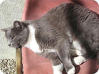 Domestic Shorthair Cat for adoption in Sherman Oaks, California - Silver