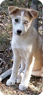Husky/Border Collie Mix Puppy for adoption in Normandy, Tennessee - Hope