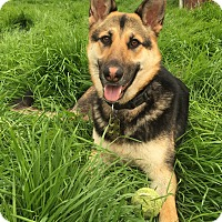 German Shepherd Dog Dog for adoption in Tracy, California - Mercy
