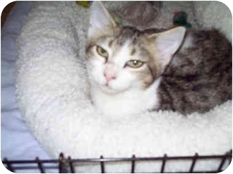 Domestic Shorthair Cat for adoption in St. Louis, Missouri - Shy