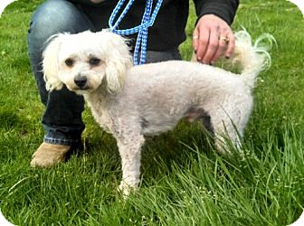 Poodle (Miniature) Mix Dog for adoption in Seattle, Washington - Chipper