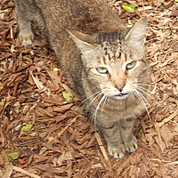 Domestic Shorthair Cat for adoption in Naples, Florida - Friend