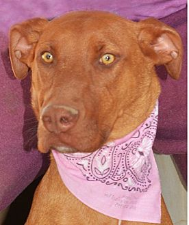 Doberman Pinscher Mix Dog for adoption in Littlerock, California - Faith