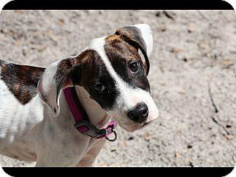 Hound (Unknown Type) Mix Puppy for adoption in Saint Augustine, Florida - Kendall