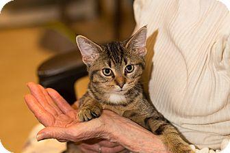 American Shorthair Cat for adoption in Brooklyn, New York - Turmeric
