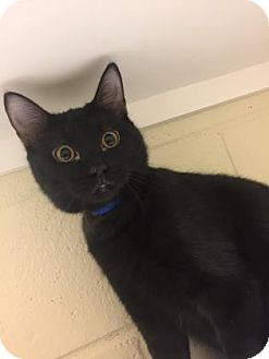 Domestic Shorthair Kitten for adoption in Cumming, Georgia - Hank