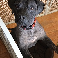 Adopt A Pet :: Ripple - Currently in foster home - Roanoke, VA