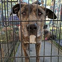 Adopt A Pet :: Camo - Las Vegas, NV
