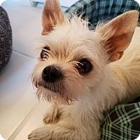Adopt A Pet :: Sweetie - Flower Mound, TX