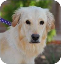Golden Retriever Mix Dog for adoption in Scottsdale, Arizona - Puck