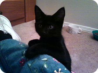 Domestic Shorthair Kitten for adoption in Winder, Georgia - *Shell