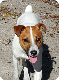 Jack Russell Terrier Dog for adoption in Ormond Beach, Florida - Reggie