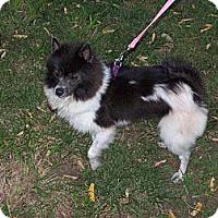 Adopt A Pet :: NIKKI - Hesperus, CO