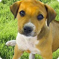 Adopt A Pet :: Aubry has ridge - Sacramento, CA