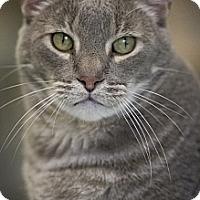 Domestic Shorthair Cat for adoption in Belton, Missouri - Chimi