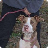 Adopt A Pet :: Presley - Hatifeld, PA