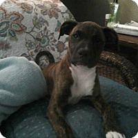 Adopt A Pet :: Candy - Williston, FL