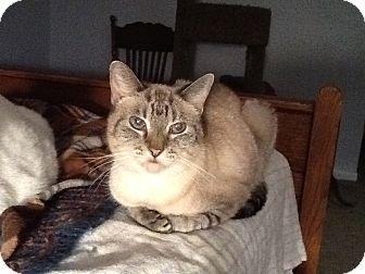 Siamese Cat for adoption in Houston, Texas - Cherie