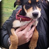 Adopt A Pet :: Trixie - Sinking Spring, PA