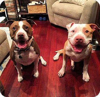 American Staffordshire Terrier Dog for adoption in Brooklyn, New York - Roman