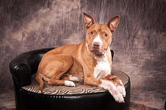Pit Bull Terrier/Hound (Unknown Type) Mix Dog for adoption in Elizabethtown, Pennsylvania - Annabelle Mumma
