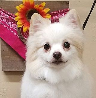 Pomeranian Dog for adoption in Norman, Oklahoma - Thor 2