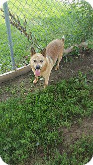 Blue Heeler Mix Dog for adoption in Indianola, Iowa - Hayes.