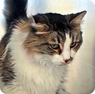Domestic Longhair Cat for adoption in Las Vegas, Nevada - Leia