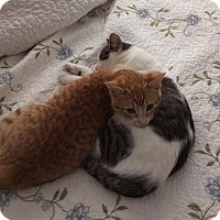 Domestic Shorthair Kitten for adoption in Frankfort, Illinois - Clarence and Cady