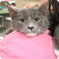 Domestic Shorthair Kitten for adoption in Morganville, New Jersey - Mittens