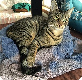 Domestic Shorthair Kitten for adoption in Middletown, New York - Pluto