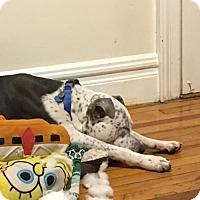 Adopt A Pet :: Cookie Bear - Brooklyn, NY