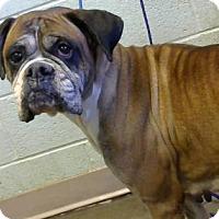 Adopt A Pet :: Foxy-Chipped - Decatur, GA