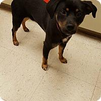 Adopt A Pet :: Cody-pending adoption - Manchester, CT