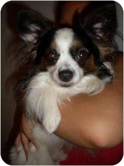 Papillon/Chihuahua Mix Dog for adoption in Foster, Rhode Island - Mickey