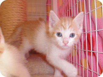 Domestic Shorthair Kitten for adoption in East Brunswick, New Jersey - Taffy