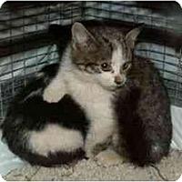 Adopt A Pet :: Thing 2 - Sierra Vista, AZ