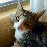 Domestic Shorthair Cat for adoption in Tucson, Arizona - Sweetpea