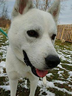 Husky Mix Dog for adoption in Bay City, Michigan - Chevayo