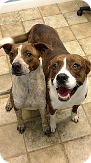 Boxer Mix Dog for adoption in Hagerstown, Maryland - Bruce and Brenda