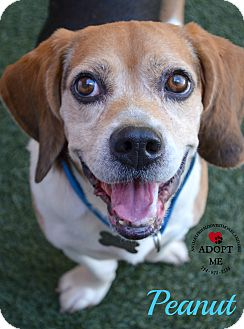 Beagle Mix Dog for adoption in Youngwood, Pennsylvania - Peanut