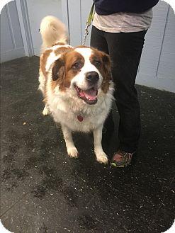 St. Bernard Mix Dog for adoption in East McKeesport, Pennsylvania - Freckles