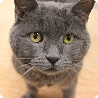 Domestic Shorthair Cat for adoption in Naperville, Illinois - Colby