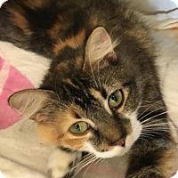 Domestic Longhair Cat for adoption in Manteo, North Carolina - Sia