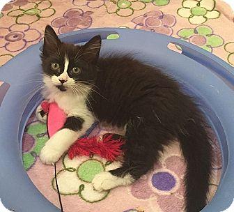 Domestic Longhair Kitten for adoption in Tampa, Florida - Geneva