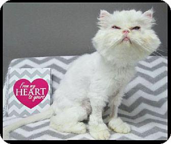 Persian Cat for adoption in Gilbert, Arizona - Lollipip